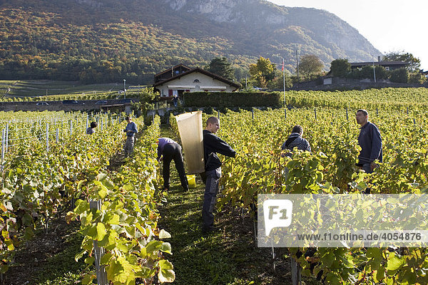 Weinernte von Wein der Sorte Pinot Noir in einem Weinberg bei Lausanne  Kanton Waadt  Schweiz  Europa