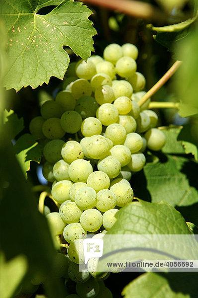 Weintraube am Weinstock  Kaysersberg  Elsass  Frankreich  Europa