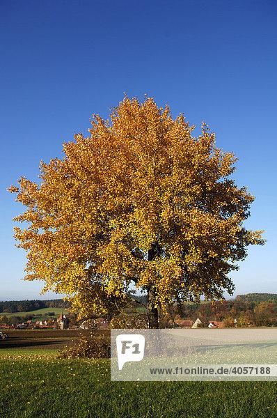 Zitterpappel  Espe (Populus tremula L.) im Herbstlaub gegen blauen Himmel  hinten fränkisches Dorf  Neunhof/Lauf  Mittelfranken  Bayern  Deutschland  Europa