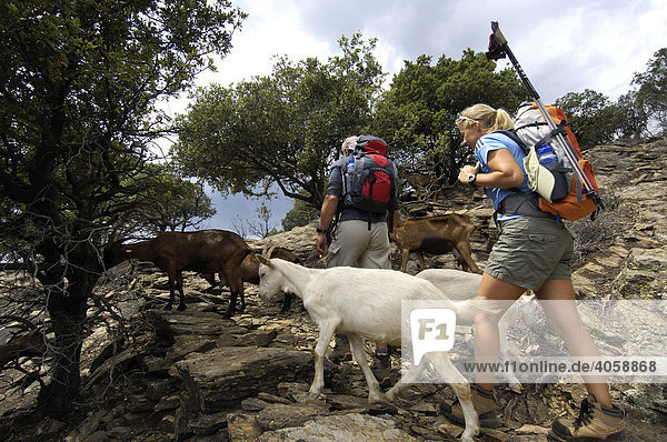 Hikers pass a herd of goats near Thines  Ardeche  Rhone Alps  France  Europe