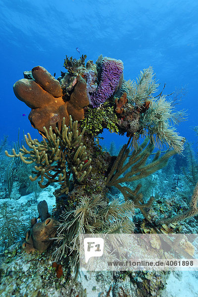 Coral block with multi-coloured sponges and coral in a coral reef in front of blue water  Half Moon Caye  Lighthouse Reef  Turneffe Atoll  Belize  Central America  Caribbean
