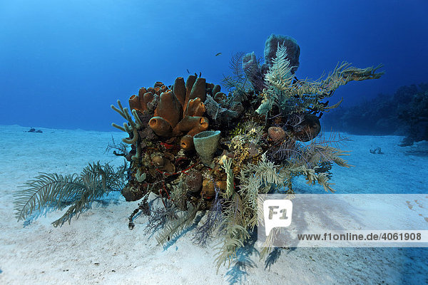 Small block of coral with various sponges and corals on a sandy seafloor  Halfmoon Caye  Lighthouse Reef  Turneffe Atoll  Belize  Central America  Caribbean