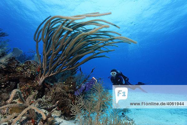 Taucherin mit Lampe schwimmt über Sandgrund und betrachtet Große Schlitzporen-Strauchgorgonie (Plexaurella nutans) am Rand eines Korallenriffs  Hopkins  Dangria  Belize  Zentralamerika  Karibik