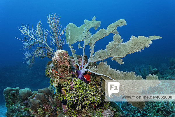 Coral reef or barrier reef alive with Sea Fan coral (Gorgonia flabellum)  Halimeda Algae (Halimeda s.) and a variarty of other different colored corals and seas sponges  San Pedro  Ambergris Cay Island  Belize  Central America  Caribbean