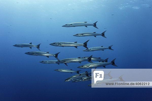 Schwarm Querbänder-Barrakudas (Spyraena qenie) im blauen Wasser  Daedalus Riff  Hurghada  Rotes Meer  Ägypten  Afrika