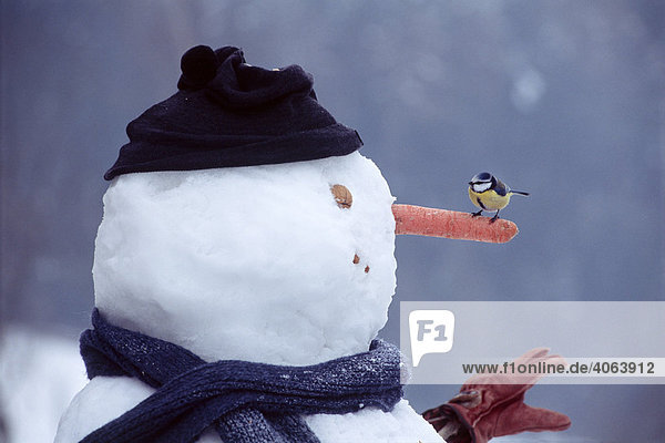 Blue Tit (Parus caeruleus) perched on a carrot on a snowman  North Tirol  Austria  Europe