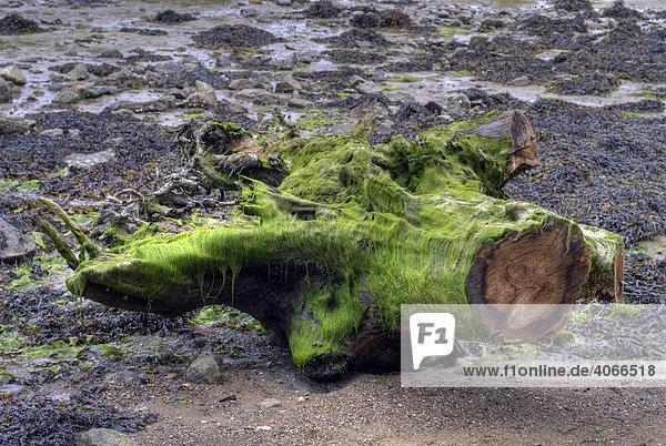 Grünalgen bedecken Teil eines Baumstammes  Bretagne  Frankreich  Europa