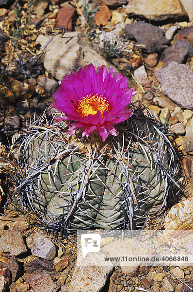 Blühende Kaktus-Art (Echinocactus horizonthalonius) in der Wüste  Big-Bend-Nationalpark  West-Texas  USA