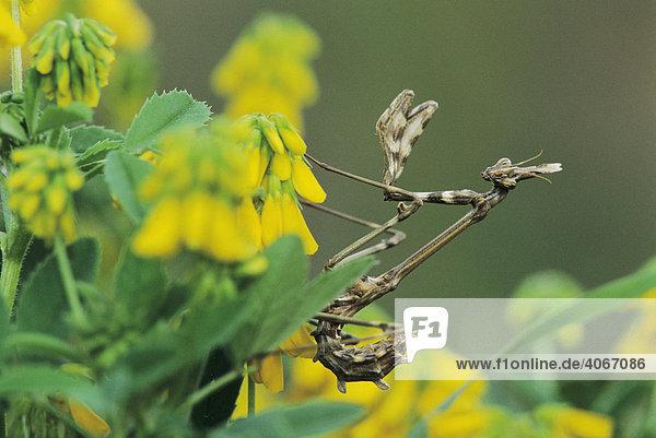 Gottesanbeterin (Mantidae)  Jungtier auf blühendem Strauch  griechische Insel Samos  Griechenland  Europa