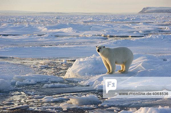 Eisbär (Ursus maritimus) im Packeis auf Spitzbergen  Norwegen  Arktis