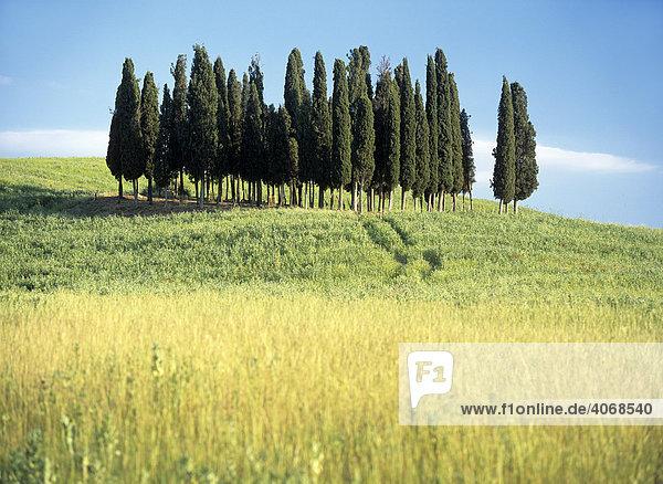 Zypressengruppe in der Toskana  Italien  Europa