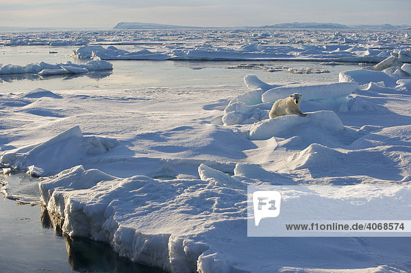 Eisbär (Ursus maritimus) auf Packeis  Spitzbergen  Norwegen  Arktis