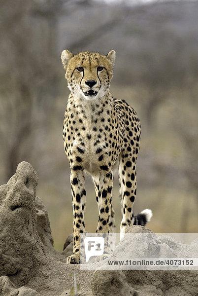 Gepard (Acinonyx jubatus)  erwachsen  Sabi Sand Game Reserve  Kruger National Park  Südafrika  Afrika