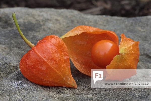 Lampionpflanze (Physalis franchetii)  Frucht Lampionpflanze (Physalis franchetii), Frucht