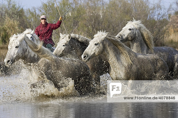 Camargue horses and guardian  Camargue  Southern France  Europe