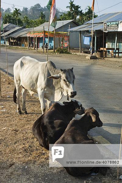 Zebus auf der Straße  Mayabunder  Middle Andaman  Andamanen  Indien  Südasien