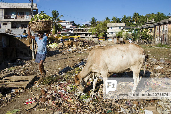 Holy cow in a residential area of Port Blair  Andaman Islands  India  South Asia