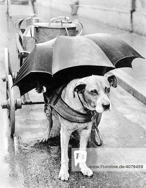 Hund mit Regenschirm über dem Kopf  historische Aufnahme  ca. 1930