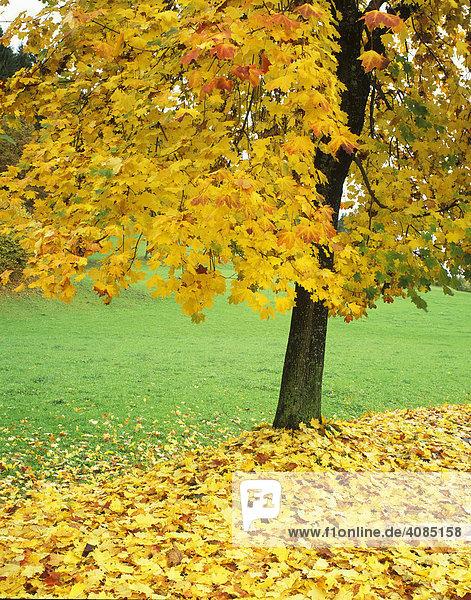Laubbbaum im Herbst Herbstlaub