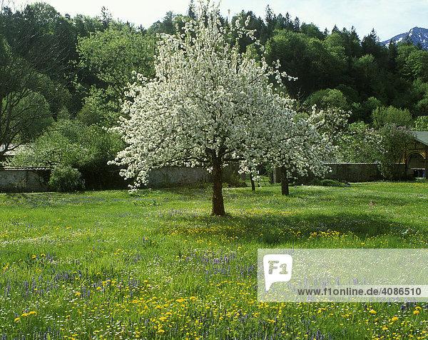 Blütenbaum Frühling