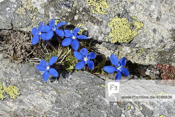 Gran Paradiso Nationalpark zwischen Piemont und Aostatal Italien Grajische Alpen blauer Frühlingsenzian Gentiana verna Schusternagel