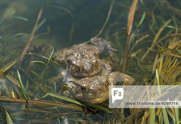 Erdkröten (bufo bufo) bei der Paarung im Wasser Bayern Deutschland