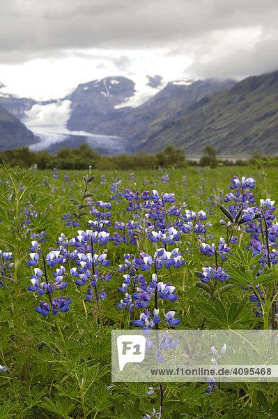 Arktische Lupinien Lupinus arcticus im Hintergrund Morsarjökull Skaftafell Nationalpark Südküste Island