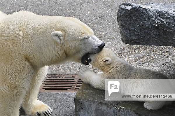 Polar bear cub Wilbaer and mother Corinna during their first public appearance  Wilhelma Zoo in Stuttgart  Baden-Wuerttemberg  Germany  Europe