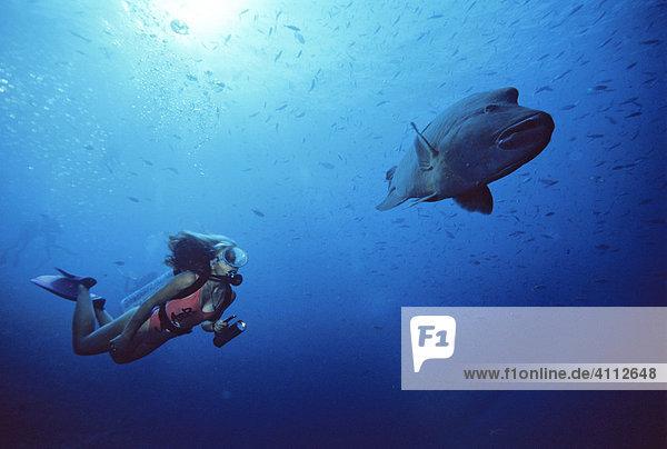 Humphead Wrasse (Cheilinus undulatus) and female scuba diver  underwater photograph  Indian Ocean