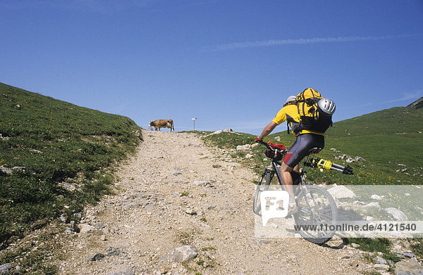 Mountain biker carrying a backpack  riding on a gravel path  cow standing on the path  Plumsjoch Pass  Schwaz  Karwendel Range  Tyrol  Austria  Europe