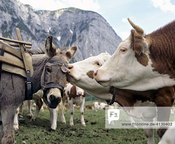 Display of tenderness between a donkey and a cow  Tirol  Austria