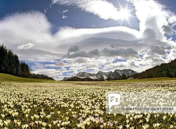 Krokuswiese bei Gerold  Krokus (Crocus)  Föhn  Föhnwolken  Wettersteingebirge  Oberbayern  Bayern  Deutschland