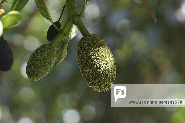 Jackfrucht (Artocarpus heterophyllus)  Westbengalen  Indien