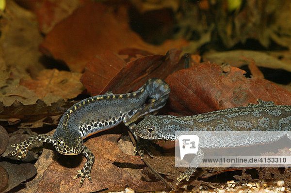 Bergmolch (Triturus alpestris)  Männchen und Weibchen während der Balz