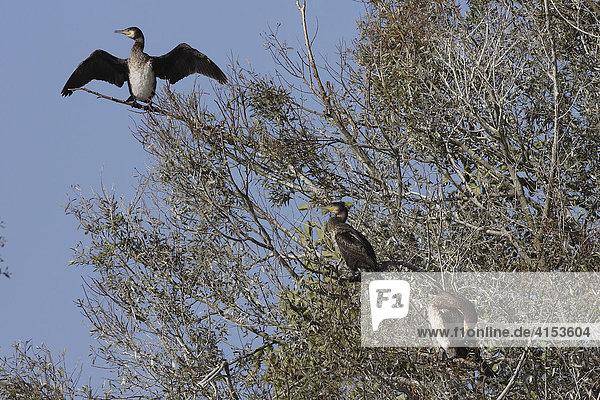Kormorane (Phalacrocorax carbo) auf dem Baum