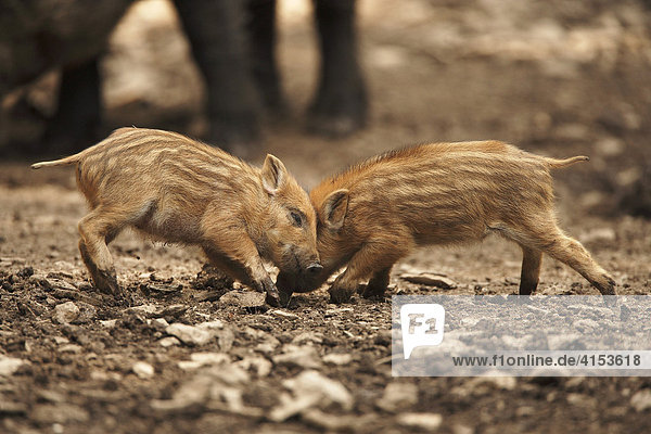 Wildschweinfrischlinge (Sus scrofa)