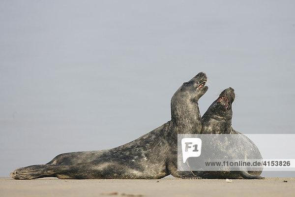 Kegelrobben (Halichoerus grypus) am Strand