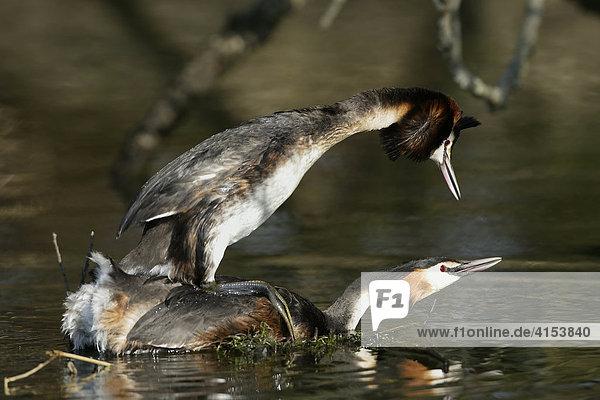 Haubentaucher  Podiceps cristatus bei der Paarung