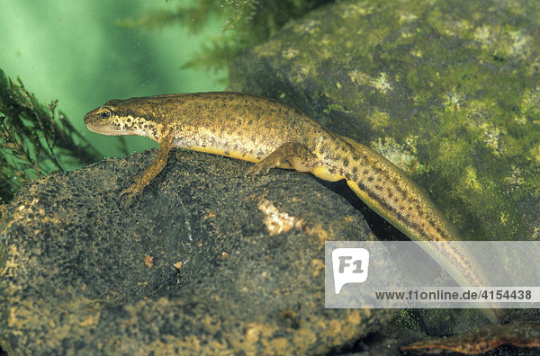 Teichmolch (Lissotriton vulgaris) (Triturus vulgaris) Weibchen  captive