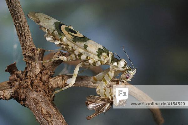 Blütenmantis (Pseudocreobotra wahlbergii) beim Fressen eines Grashüpfers