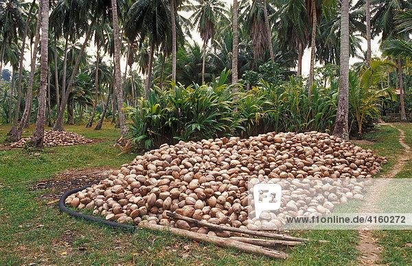 Kokosnussplantagen  Kerala  Indien.