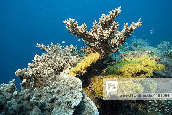 Korallenriff mit Steinkorallen und Weichkorallen  Philippinen  Pazifischer Ozean