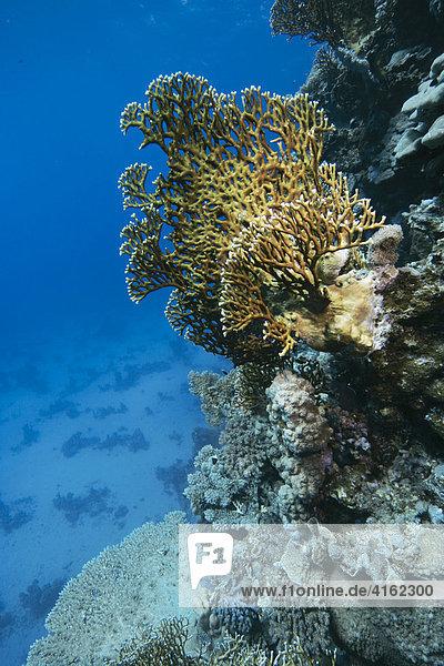 Feuerkoralle  Millepora tenella. Korallenblock im Riff.