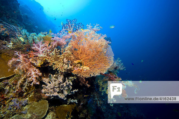 Colourful coral reef with soft corals Dendronephthya.