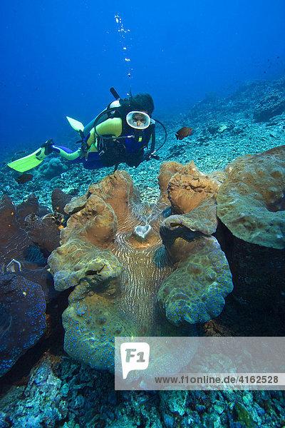 Taucher und eine gigantische Mördermuschel (Tridacna gigas) im Unterwassernationalpark von Bunaken  Indonesien.