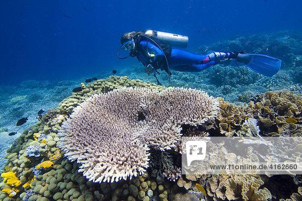 Ein Taucher schwimmt im Unterwasser Nationalpark von Bunaken  Sulawesi  Indonesien.