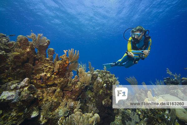 Scuba diver observing a coral reef  Caribbean  Roatan  Honduras  Central America