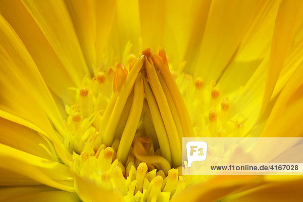 Ringelblume (Calendula)