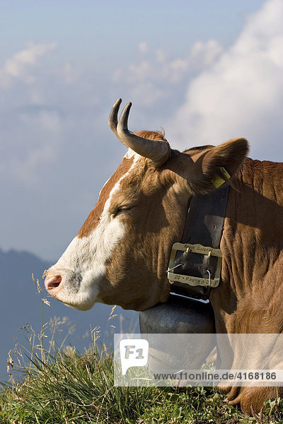 Cow with cowbell - Alps Allgäu Bavaria Germany