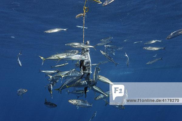Ausgelegter Köder zum Anlocken von Weißen Haien,  Insel Guadalupe,  Mexiko,  Pazifik,  Nordamerika